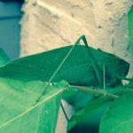 Angle-Wing Katydid