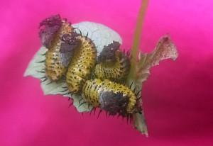Leaf Beetle Larvae