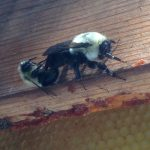 Mating Bumble Bees