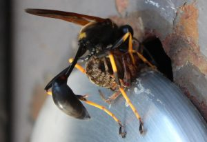 Black and Yellow Mud Dauber preys on Orbweaver
