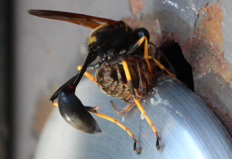 Black And Yellow Mud Dauber With Orbweaver What S That Bug