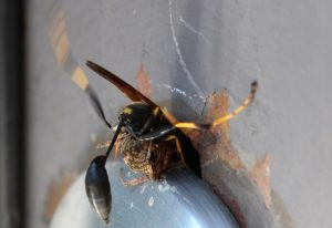 Mud Dauber kicks it with Orbweaver