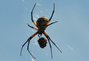 Golden Orbweaver with Prey