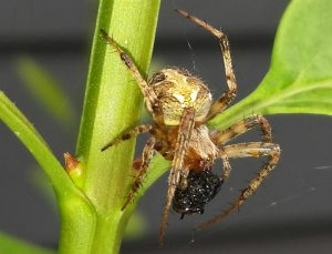 Possibly Arabesque Spider
