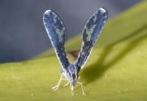 Derbid Planthopper:  Proutista moesta