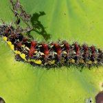 Smeared Dagger Moth Caterpillar
