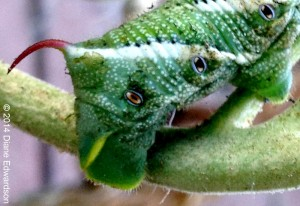 Spiracles of a Tobacco Hornworm
