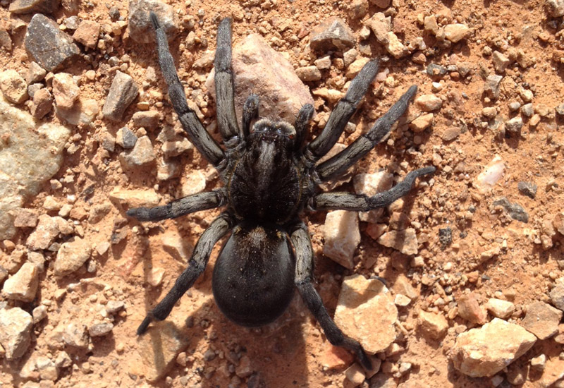 Tarantulas and Trapdoor Spiders Archives - Page 10 of 25 - What\'s ...