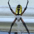 Golden Orbweaver from our Archives