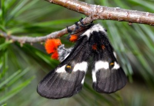 Buck Moth