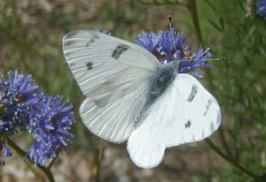 Male Checkered White