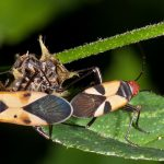 Leaf Footed Bugs
