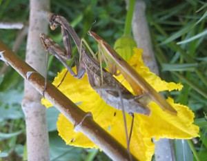 Mating California Mantids with headless male