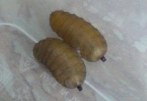 Immature Dipterans