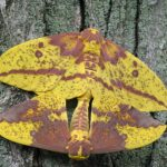 Mating Imperial Moths (from our archive)