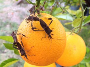 Mating Leaf Footed Bugs in California