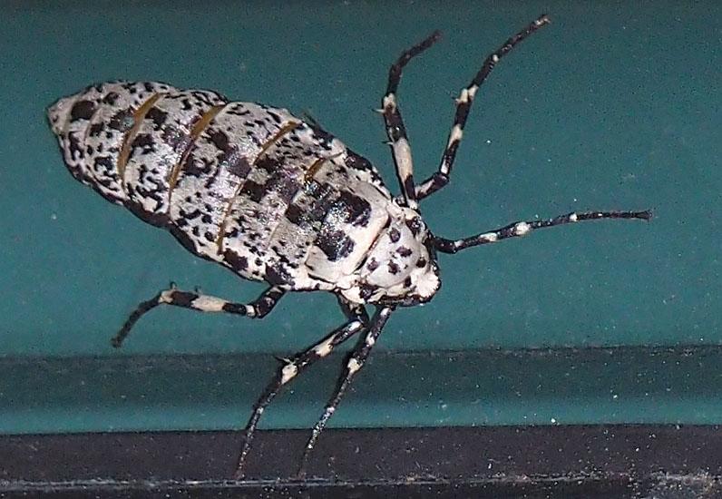Flightless Female Invasive Linden Looper Moth What S