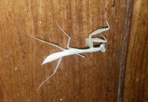 Newly Molted Mantis