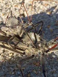 Mating Wheel Bugs