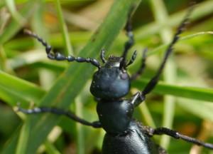 Head of Oil Beetle
