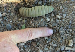 Pre-Pupal Hornworm, we believe