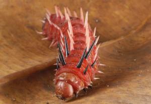 Saturniid Caterpillar