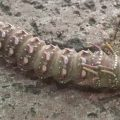 Sphingicampa Caterpillar