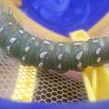 Royal Moth Caterpillar