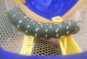 Royal Moth Caterpillar
