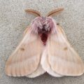 Tent Caterpillar Moth