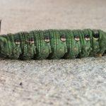 Pre-Pupal Tersa Sphinx Caterpillar