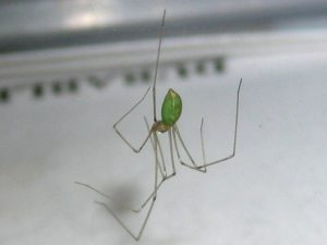 Green Cellar Spider or something else???