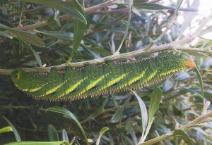 Double Headed Hawkmoth Caterpillar