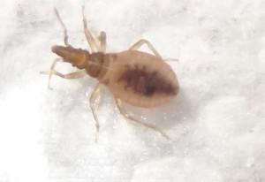 Immature Blood Sucking Conenose Bug