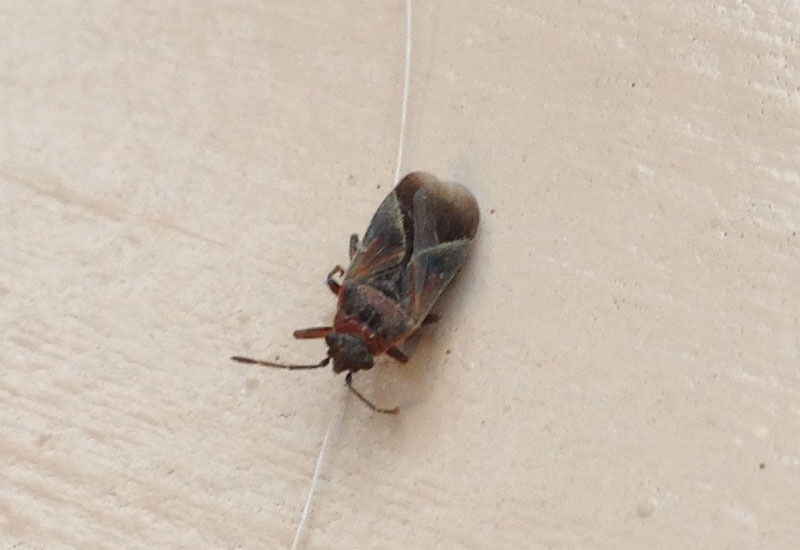 Possibly Dirt Colored Seed Bugs In Utah What S That Bug