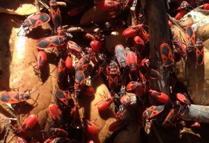 Mediterranean Red Bug Aggregation