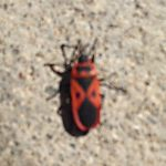 Mediterranean Red Bug