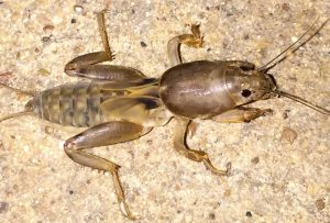 Mole Cricket