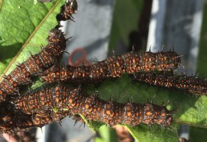 Brush-Footed Butterfly Caterpillars