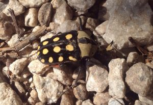 Orange Spotted Fruit Chafer