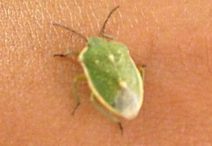 Say's Stink Bug
