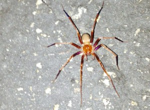 Possibly Male Crevice Weaver Spider