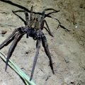 Possible Wolf Spider