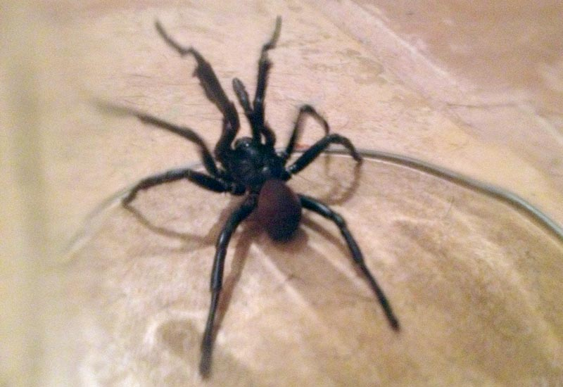 Rains bring out california trapdoor spiders in northeast los angeles