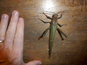 Giant Brown Cricket