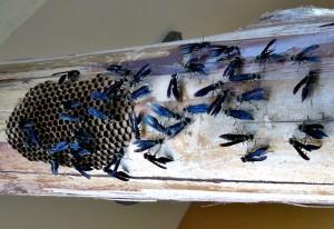 Warrior Wasps build new nest