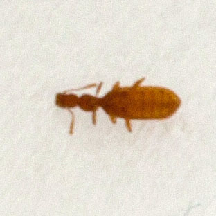 Small Unknown Beetle. Plaster Beetles Archives   What s That Bug
