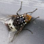 Bristle Fly
