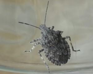Tree Stink Bug