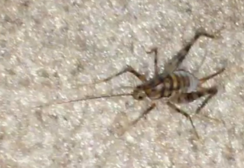crickets camel crickets and mole crickets archives what 39 s that bug